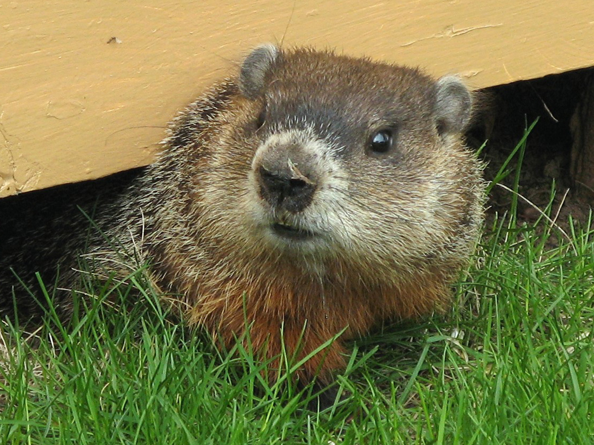 photo of groundhog